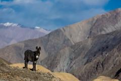 WEB_2013_10_28_Tibet_Leh2611