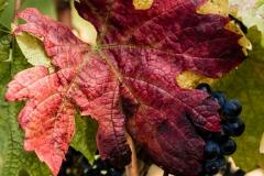 WEB_2015_10_02_Phalma_Szüret_szőlő_1529