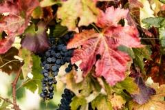 WEB_2015_10_02_Phalma_Szüret_szőlő_1532-4
